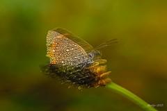 IMG_012227 - Natures mirror (Monique van Gompel) Tags: 7dwf mirrormirror flickrfriday mirror tamronsp90mmf28dimacro11vcusd canoneos80d nature natuur waterdrops waterdruppels butterfly vuurvlinder kleinevuurvlinder lycaena lycaenaphlaeas