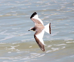 Sabine's Gull. Juvenile  (c) Michael M Brothers 2017 All rights reserved.