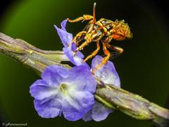 Bee with pollen (Naturescrack) Tags: antioquia colombia co bee abeja flower flor flora nature naturaleza animal macro macrophotography macrofotografía pollen nectar nikkor nikon raynox insect insecto wildlife