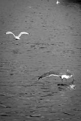 St Margarets Loch September 2017-83 (Philip Gillespie) Tags: focus panning tracking birds motion swans ducks geese pigeons seagulls gulls water park nature outdoors wildlife canon eos 5dsr outside hill grass green blue white black mono monochrome colour wings feathers people kids men women girls boys bench feeding food contrast beaks bills rain spread flying swimming wet drops sky clouds eyes splash drip sitting ruin