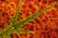 Details / (Claudia Bacher Photography) Tags: details blatt leaf herbst autumn autumnleaf traube grape natur nature macro makro outdoor pflanze plant sonya7r suisse schweiz switzerland