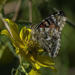 Butterfly_SAF4225 (sara97) Tags: missouri nature outdoors photobysaraannefinke saintlouis towergrovepark butterfly insect pollinator
