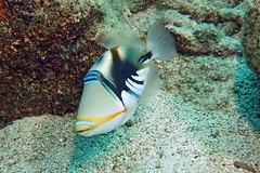 humuhumu-nukunuku-a-pua-a (BarryFackler) Tags: fish animal marinelife creature ecology fauna sealife organism being life reef saltwater tropical hawaii aquatic marine diving 2017 sea underwater pacific zoology rhinecanthusaculeatus triggerfish humuhumunukunukuapuaa lagoontriggerfish raculeatus honaunau dc2000 westhawaii ecosystem nature marinebiology vertebrate bigisland coral seacreature kona ocean bigislanddiving polynesia barryfackler undersea island hawaiidiving outdoor bay southkona water sandwichislands konadiving honaunaubay pacificocean marineecosystem diver coralreef scuba sealifecamera dive hawaiiisland hawaiicounty hawaiianislands konacoast biology barronfackler marineecology