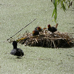 Coot nest with chicks thumbnail