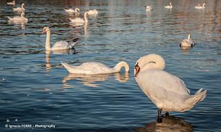 Swans, Prague #4