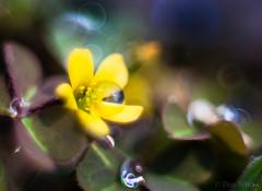 Tiny Flower (Don White (Burnaby)) Tags: 52mm extensiontube flowersplants macro nw524 nikon50mm18d bokeh dew yellow
