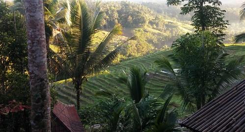 Morning light on the rice paddies, Tabanan, Bali