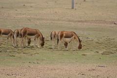 IMG_0373 (y.awanohara) Tags: tibet wildlife scenery ngari may2017 donkeys khyang tibetanwilddonkeys