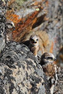 Rough-legged Hawk teenagers