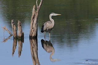 1.02044 Grand Héron (immature) / Ardea herodias herodias / Great Blue Heron