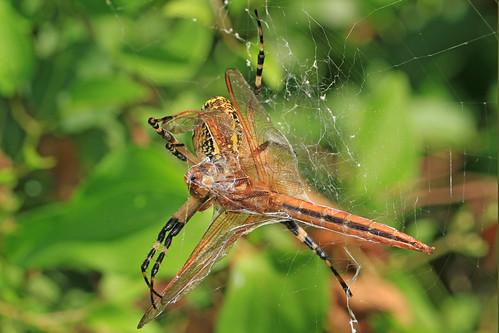 Black and Yellow Garden Spider - Argiope aurantia and Needham's Skimmer - Libellula needhami, Occoquan Bay National Wildlife Refuge, Woodbridge, Virginia