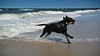 beach fun (uwe.kast) Tags: labrador labradorretriever labradorredriver hund haustier dog denmark danmark dk nordsee northsee jütland westküste wasser water nikon nikon1 nikon1v1