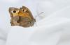 Meadow Brown (Maniola jurtina) (markhortonphotography) Tags: lepidoptery maniolajurtina markhortonphotography meadowbrown lepidoptera insect washing deepcut surrey wildlife butterfly white surreyheath sheets nature macro laundry thatmacroguy invertebrate