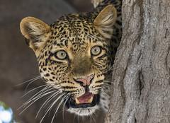 0717 Zambia (192) (ChrisJS2) Tags: southluangwanationalpark southluangwa nationalpark zambia safari safariinsouthluangwa walkingsafari walkingsafarisouthlunagwa