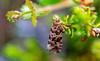 Phiaris schulziana (Lyngprydvikler) (RuneTorleif) Tags: runetorleif pryd fjell vikler lyngprydvikler schulziana phiaris naturallywonderful moth