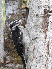 Hairy Woodpecker (Shelley Penner) Tags: birds vancouverisland woodpecker hairy