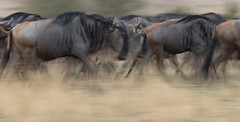 Wildebeest Migration (Markp33) Tags: