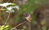 Hummingbird Do Fly Away, Fly Away (craigsanders429) Tags: arizonasonoradesertmuseum hummingbird birds museums tucsonarizona
