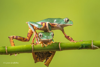 Coming through - Super Tiger Legged Waxy Monkey Leaf Frog D50_8104.jpg