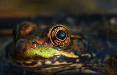 Green frog (Lithobates clamitans) macro (phl_with_a_camera1) Tags: michigan nature wildlife swamp fen closeup detail macro rana green frog lithobates clamitans eye water animal amphibian herping herp