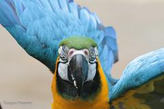 IMG_3372.jpg (Mark Dumont) Tags: animals bird birds blue cincinnati dumont gold macaw mark wow zoo
