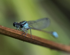 Blue-tailed damselfly (Dave M. Pettit) Tags: dragonfly dragonflies damselfly damselflies insects wildlife nature