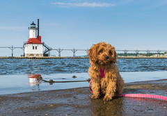 Sit.  Stay. (tquist24) Tags: cavapoo lakemichigan michigan nikon nikond5300 sicily stjoseph stjosephlighthouse cute dog geotagged leash lighthouse pier puppy reflection reflections sit sky stay summer water