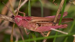 field grasshopper, Chorthippus brunneus, purple female (David_W_1971) Tags: grasshopperfield sonyvclm3358