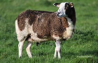 Sheep - Schaf