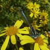 White-legged Damselfly ♂ (Durley Beachbum) Tags: platycnemispennipes whiteleggeddamselfly july bournemouth stourvalley