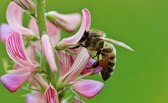 Biene (LuckyMeyer) Tags: insekt honig biene sommer garten blume blüte pflanze makro bee busy flower fleur summer garden honey green rosa pink grün fly