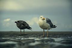 Mischievous undertakings (Nils van Rooijen) Tags: sea gull beach ameland wadden unwsco birds animals sand reflections sky island summer netherlands gulls young wildlife