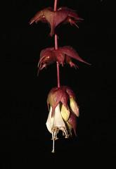 Himalayan honeysuckle (Leycesteria formosa) (shadowshador) Tags: himalayan honeysuckle leycesteria formosa neomura eukaryota archaeplastida plantae plant plants tracheobionta spermatophyta magnoliophyta magnoliopsida asteridae dipsacales caprifoliaceae taxonomy scientific classification biology botany wildlife life flower flowers darkpurple