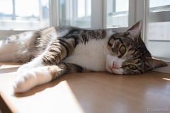 _DSC0609 (catfish.boogie) Tags: nikond750 tamronsp35mmf18divcusd japan hokkaido sapporo cat