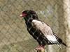 Bateleur (ericderedelijkheid) Tags: ouwehandsdierenpark rhenen dierentuin zoo netherlands
