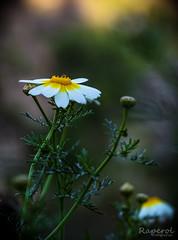 Color_1 (raperol) Tags: primavera flor flower flores floresyplantas flowers margarita bokeh