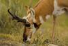 Just a nibble {Explored} (ChicagoBob46) Tags: pronghornantelope antelope yellowstone yellowstonenationalpark nature wildlife explore explored specanimal specanimalphotooftheday coth5 ngc npc