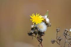 I'm Just a Dandy! (Neal D) Tags: bc surrey crescentbeach plant weed flower dandelion taraxacum