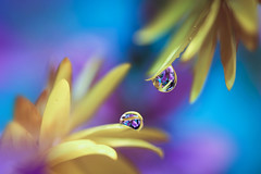 Yellow and blue (Marilena Fattore) Tags: macro yellow blue purple canon 650d tamron 90mm colors water waterdrops nature closeup focus petals reflection bokeh droplet light flora flowers daisy gerbera soft softflowers macrophotography onlyflowers