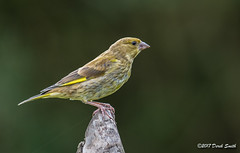 Greenfinch (F) (Delboy Studios) Tags: birds