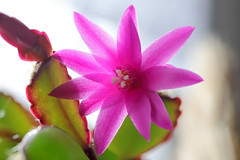 Cactus blooming (roland_zink) Tags: nature neuanspach hessen deutschland deu