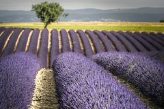 piping purple (Rafael Zenon Wagner) Tags: lavender fields lavendel felder nikon d810 200mm purple pink purpur rohre pipes tree baum dof grün green pov frankreich france provence