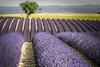 piping purple (explored) (Rafael Zenon Wagner) Tags: lavender fields lavendel felder nikon d810 200mm purple pink purpur rohre pipes tree baum dof grün green pov frankreich france provence