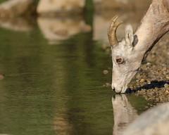 Bighorn sheep (fred.colbourne) Tags: bighornsheep animal wildlife lake banffnationalpark alberta mountainlake