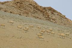 IMG_0410 (y.awanohara) Tags: antelope tibet tibetanantelope may2017 ngari