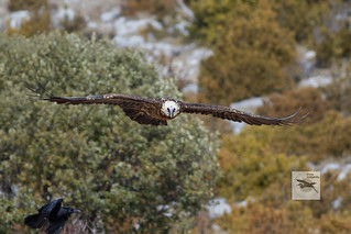 Lammergeier_adult_flight_w_1097