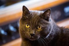 29/52❤ (clo dallas) Tags: cat feline nature eyes teo myhome indoors ininterni portrait