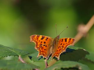 Schmetterling C-Falter