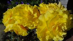 Begonie (Gartenzauber) Tags: blume gelb sony natur garten yellowyelloweverywhere floralfantasy doublefantasy