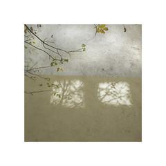 Wall. 5   ( Villava ) (José Luis Cosme Giral) Tags: aprobado wall5 textures leaves wall light shadows 1x1 square marcoblanco minimal minimalismo cuadrado ricoh gr villava navarra